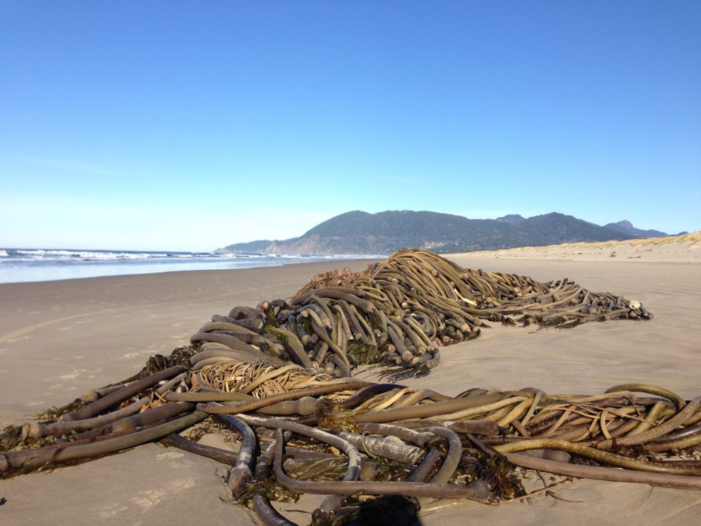photograph of a large pile of kelp on Manzanita beach in Oregon
